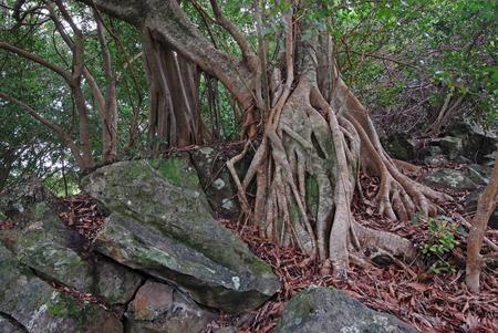 strangler: Strangler Fig, Haleakala National Park, Maui, Hawaii