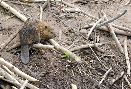 Baby beaver on beaver lodge in pond Фото со стока