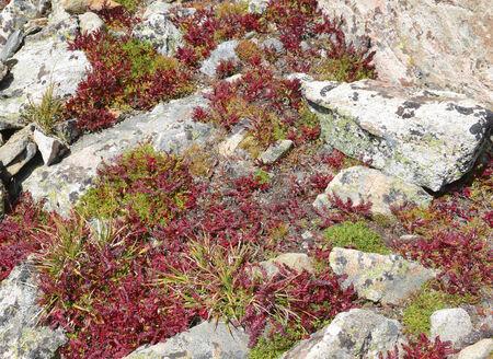 alpine tundra: Alpine tundra in Autumn colors