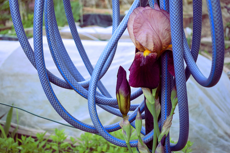 Violet flower on the garden surrounded by a blue watering hose tubes hanging from above the plant 版權商用圖片