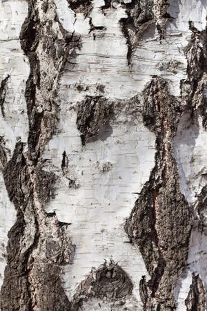 sulcus: Birch bark, abstract texture