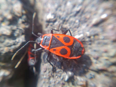 Soldier beetle on the pavement