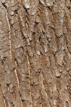 sulcus: Oak tree bark, abstract texture Stock Photo