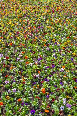 brightly: A lot of violets in the flower bed, brightly colored floral texture