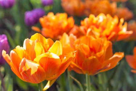 terry: Group of bright orange terry tulips in the sun Stock Photo