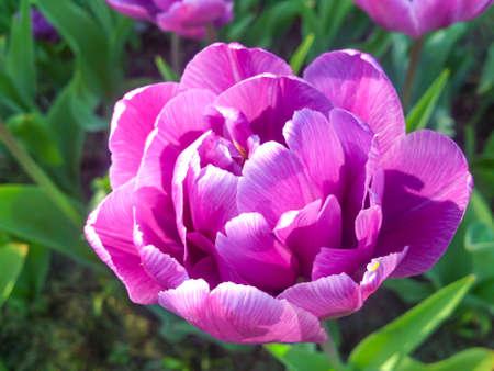 Terry purple tulip in the garden