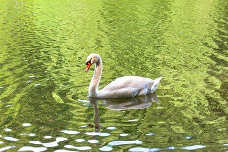 Swan swimming in the pond, Tsaritsyno park