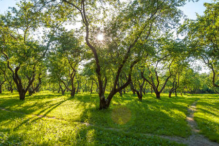 Apple garden in Kolomenskoe park, Moscow. Summer bright landscape