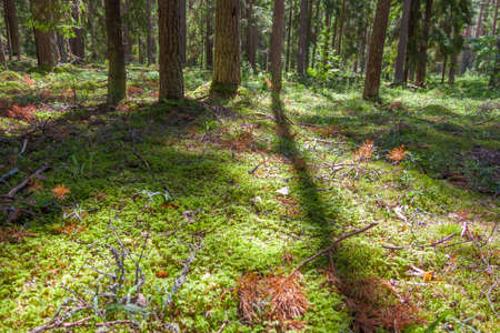 Moss and branches on the ground in the edge of pine forest in summer sunny day. Protected forest near Koprino, Rybinsky district, Yaroslavl region, Russia.