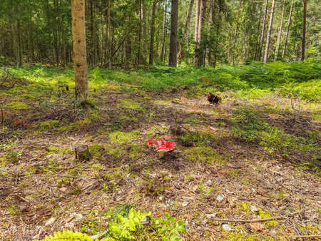 Mushroom, branches and cones in the edge of pine forest in summer sunny day. Protected forest near Koprino, Rybinsky district, Yaroslavl region, Russia. 免版税图像