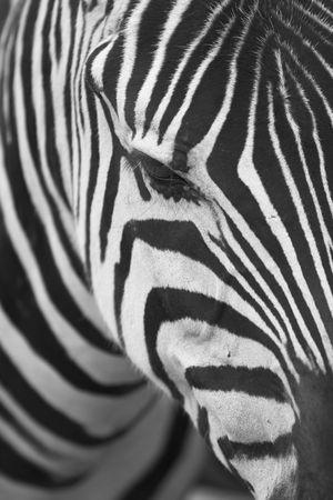 zebra head: A close up of a zebra