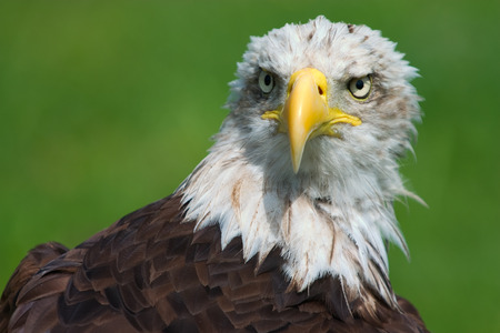 Close-up of a bald eagle Haliaeetus leucocephalus Stock Photo - 1728285
