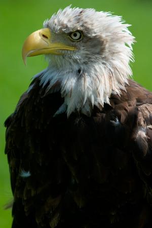 haliaeetus: Close-up of a bald eagle Haliaeetus leucocephalus
