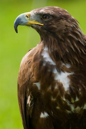 chrysaetos: �guila real close-up Aquila chrysaetos  Foto de archivo