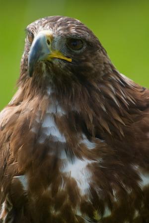 chrysaetos: golden eagle close-up Aquila chrysaetos