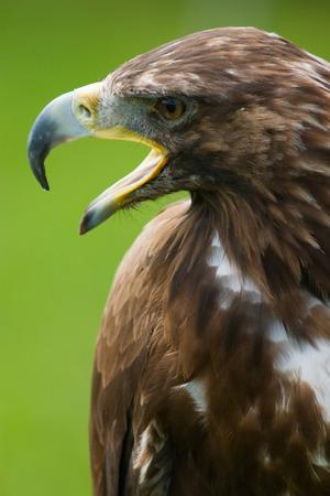 golden eagle: Steinadler mit Schnabel offen close-up Aquila chrysaetos