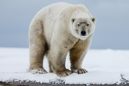 Polar bear, northern arctic predator. Polar bear in natural habitat. Stok Fotoğraf