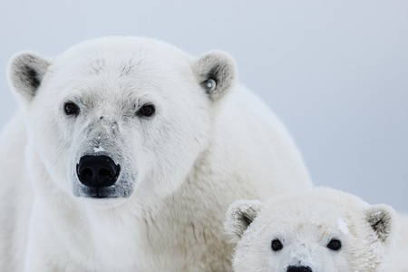 Orso polare, predatore artico settentrionale. Orso polare in habitat naturale.