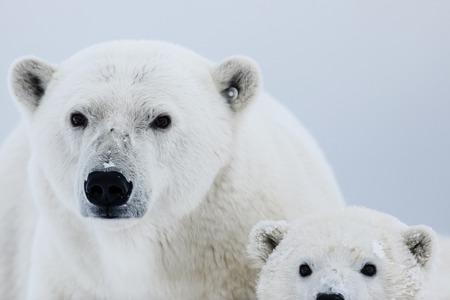 Ours polaire, prédateur de l'Arctique nordique. Ours polaire dans son habitat naturel.