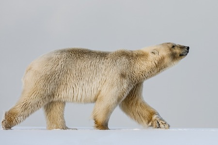 Polar bear, northern arctic predator. Polar bear in natural habitat. Stock fotó
