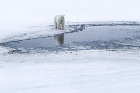 Polar bear, northern arctic predator. Polar bear in natural habitat. 免版税图像