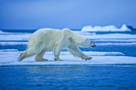 Oso polar, depredador del norte del Ártico. Oso polar en hábitat natural. Foto de archivo