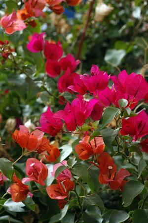 Bright pink tropical flower bush in spring bloom