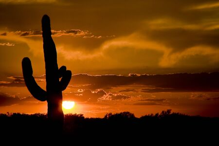sonora: Saguaro Cactus at Sunset