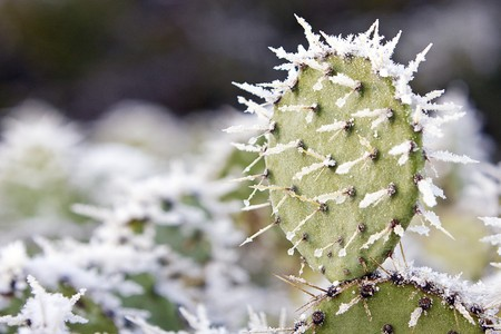 Snow on Prickly Pear Cactus Stock Photo