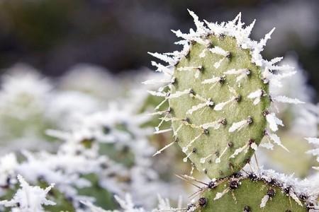 Snow on Prickly Pear Cactus Stock Photo