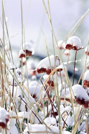 Blue Morning with Light Snow on Wildflowers