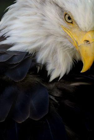 aigle: Oui, cela est que l'aigle: le fameux symbole national am�ricain.  Banque d'images