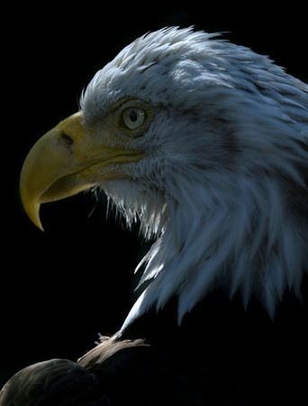 that: Yes, this is THAT eagle: the famous american national symbol.