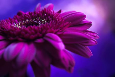 Colorful closeup shot of a single flower, dominated by purple and Stock Photo