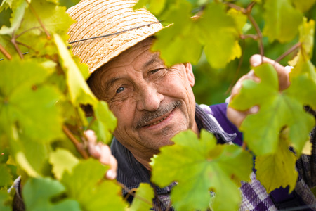 boater: Portrait of happy senior vintner in french straw during the vintage.