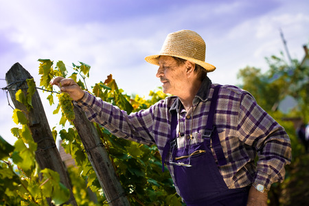 boater: Vintner in french straw examining the grapes during the vintage.