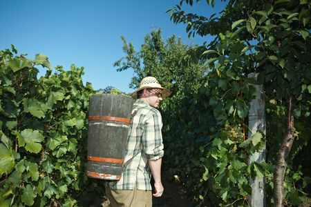the fruitful: Vintager wearing butt full of grapes during the vintage.