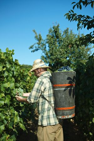 Vintager harvesting grapes to butt. photo