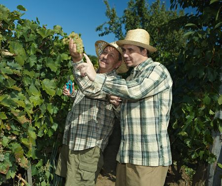 Vintners in french straw examining the grapes during the vintage. photo