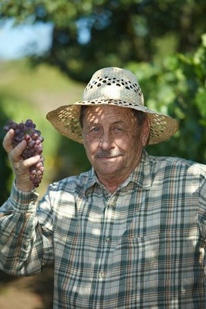 Senior vintner in french straw examining the grapes during the vintage. photo