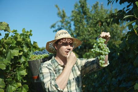 Vintager wearing butt full of grapes during the vintage. photo