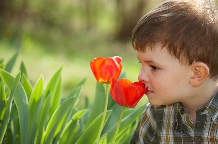 Four years old little boy smelling red tulip flower in spring garden.