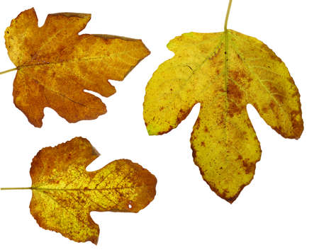 stockphoto: Three dried autumn leaves over white background.
