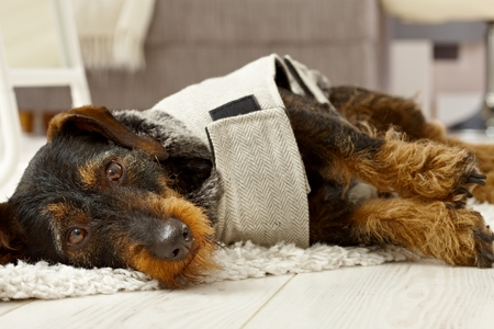 Pretty dressed up dog lying on floor, looking at camera. Stock Photo