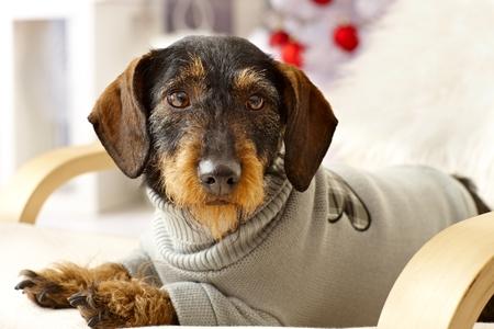 Closeup photo of cute dachshund in jumper lying in armchair.