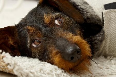 Closeup photo of lying dog head, looking away. Stock Photo