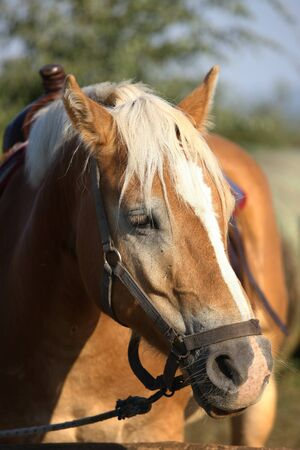 Portrait of a horse in riding tack. Banque d'images