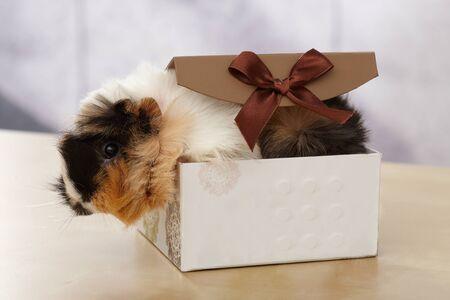 Portrait of cute guinea pig in gift box.