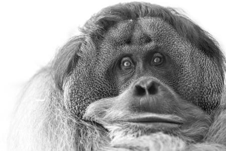 orangutan cute close-up