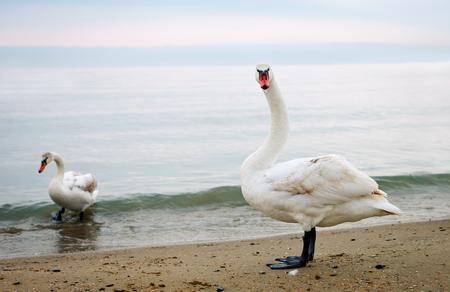 Swans walk along the seashore